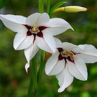 АЦИДАНТЕРА - душистый гладиолус (Gladiolus murielae)
