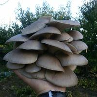 Грибная магия, выращиваем Вешенки на заднем дворе