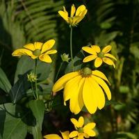 Красивая ширма для некрасивого забора-Рудбекия глянцевитая (Rudbeckiа nitida)