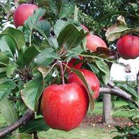 Как мы купили яблоню...