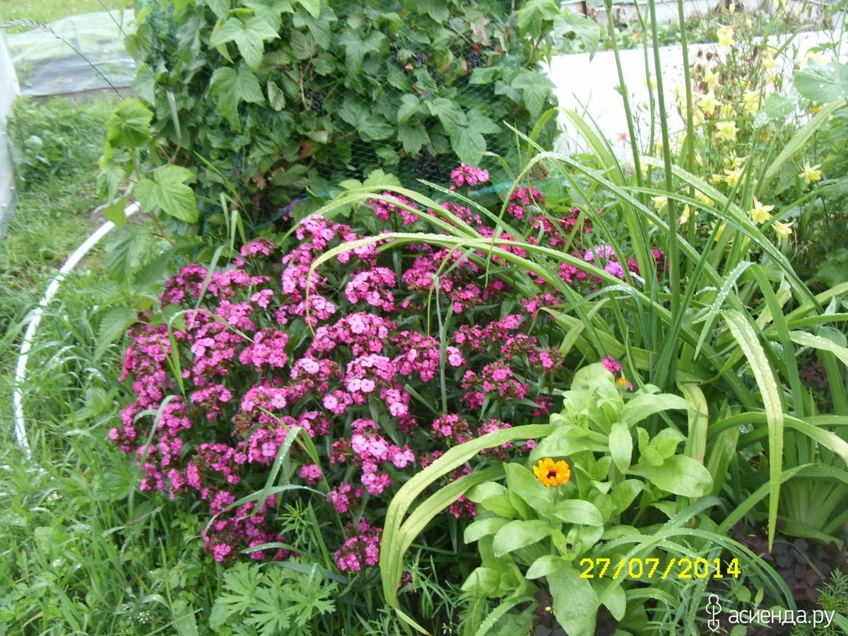Сажать гвоздику семенами осенью 94