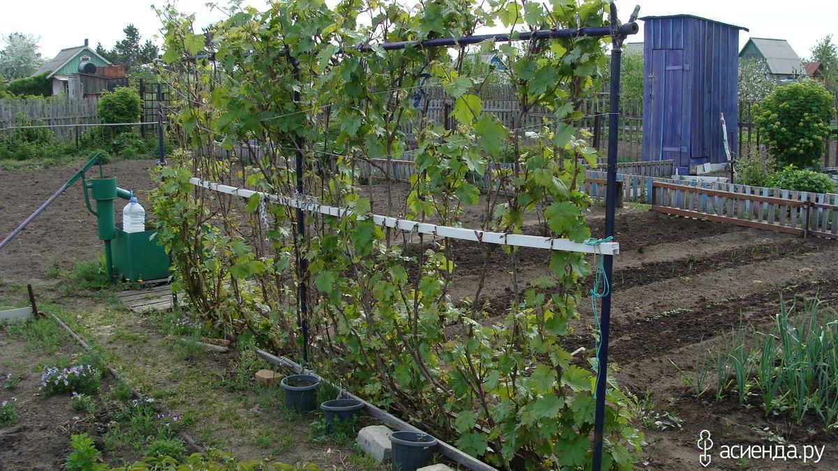 Как сделать для винограда подпорки 4
