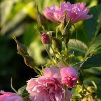 Гвоздики или розы?