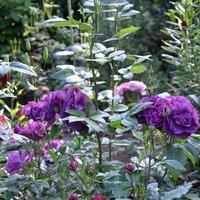 Миф в моем саду-СИНИЕ РОЗЫ