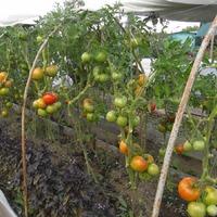 Августовская фотосессия томатов открытого грунта