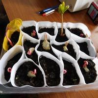 Розовые петли клещевины