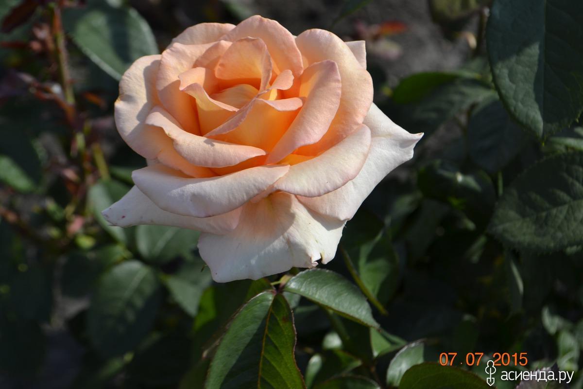 розы на шпалере схема