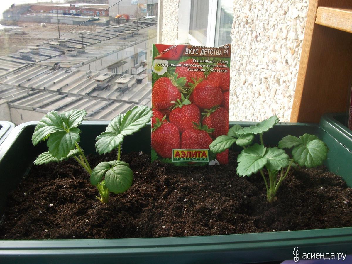 Клубника для выращивания дома сорта 64
