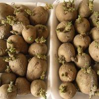 Готовим картофель к посадке