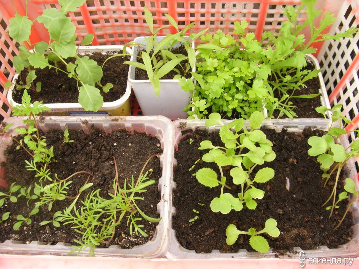 Выращивание томатов в низких парниках на садовом 62