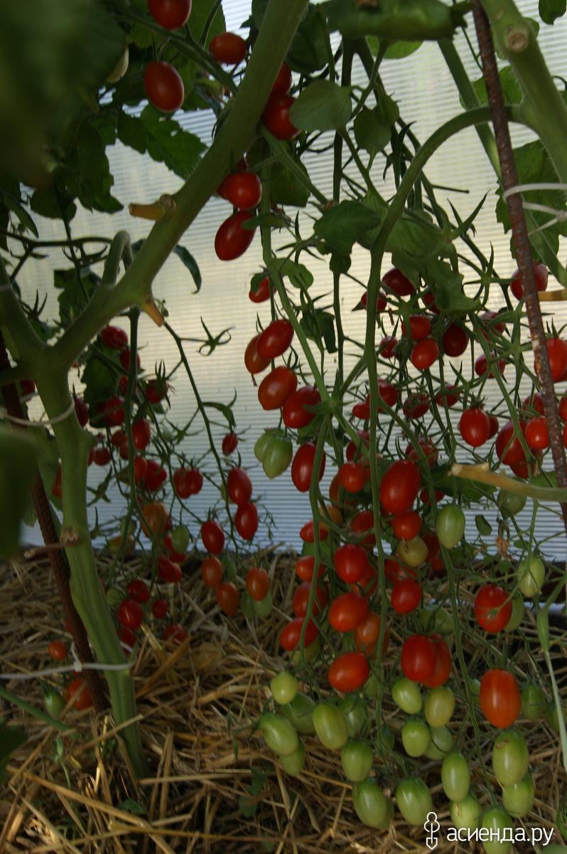 Выращивание томатов черри в теплицах 79