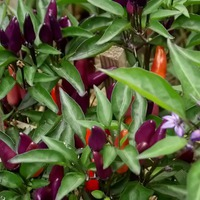Один из красивейших декоративных перцев мира Эксплозив Эмбер.