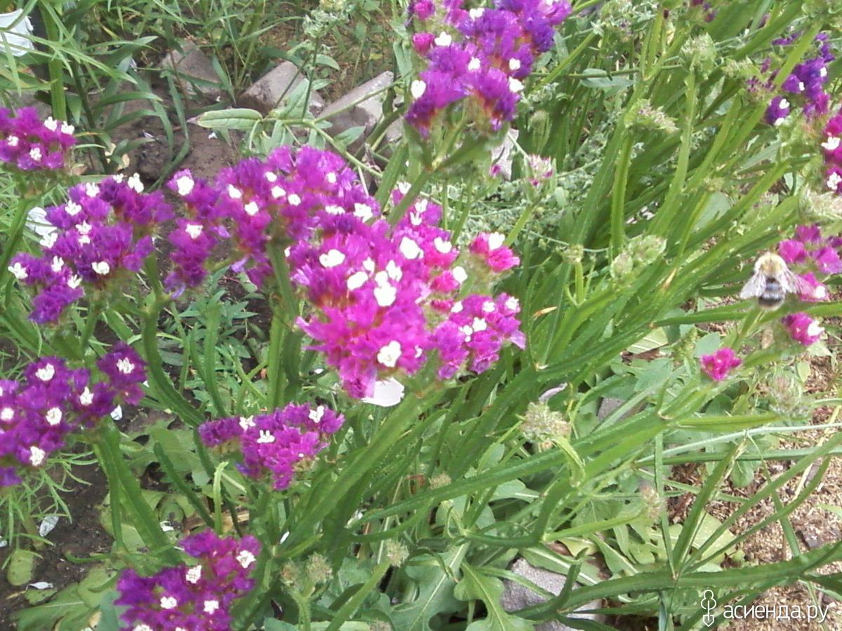 Фото рассады цветка статица
