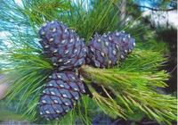 Сосна кедровая – незаменима и в будни, и в праздники