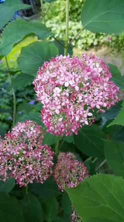 Гортензия древовидная Hydrangea arborescens Invincibelle Spirit (Пинк Аннабель (Pink Annabelle))