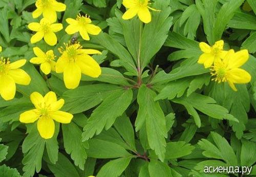 Найти лекарственные цветы сердечные по цветки желтого цвета