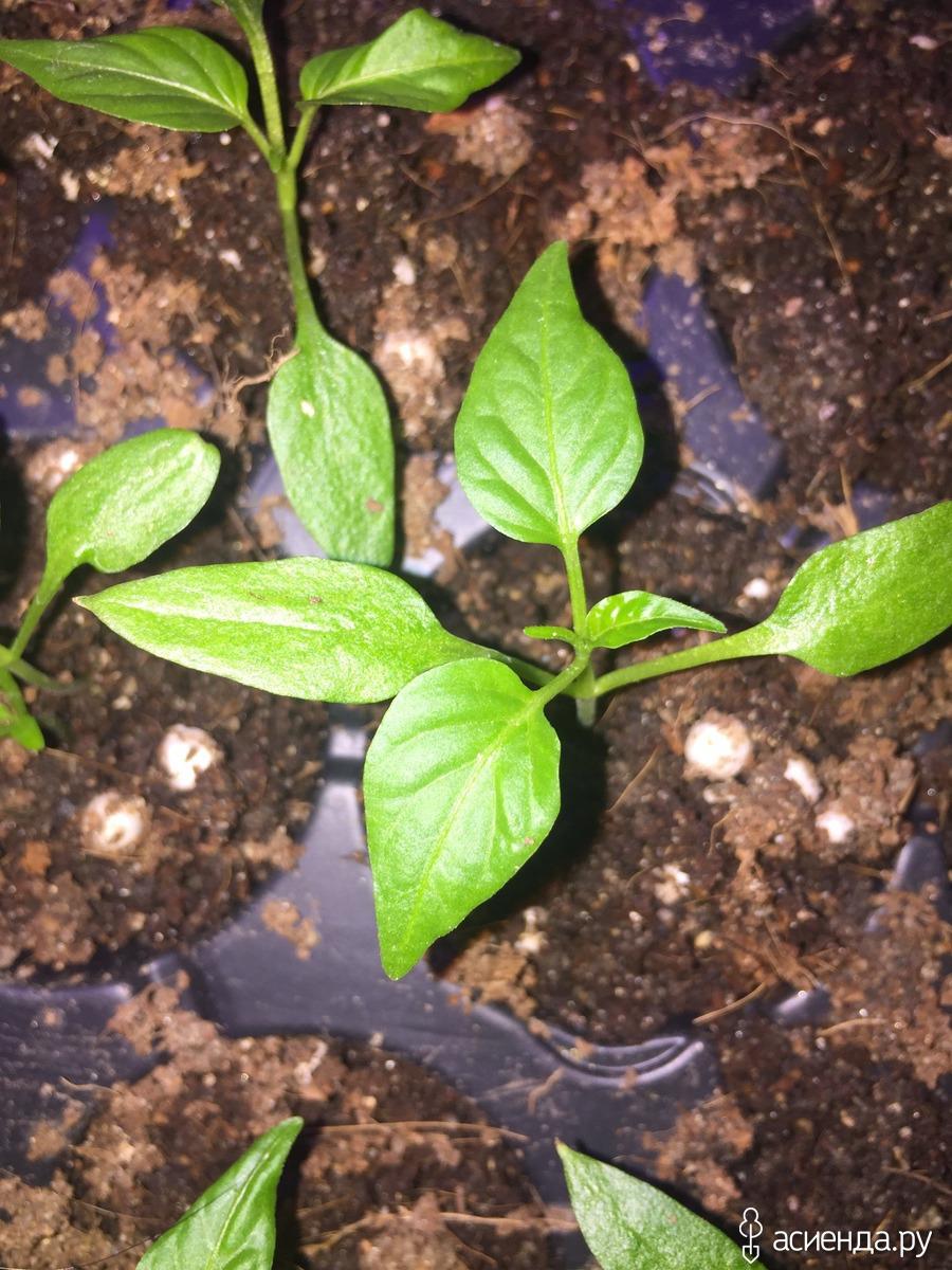 Когда сажать перец на рассаду в 2016 году 18
