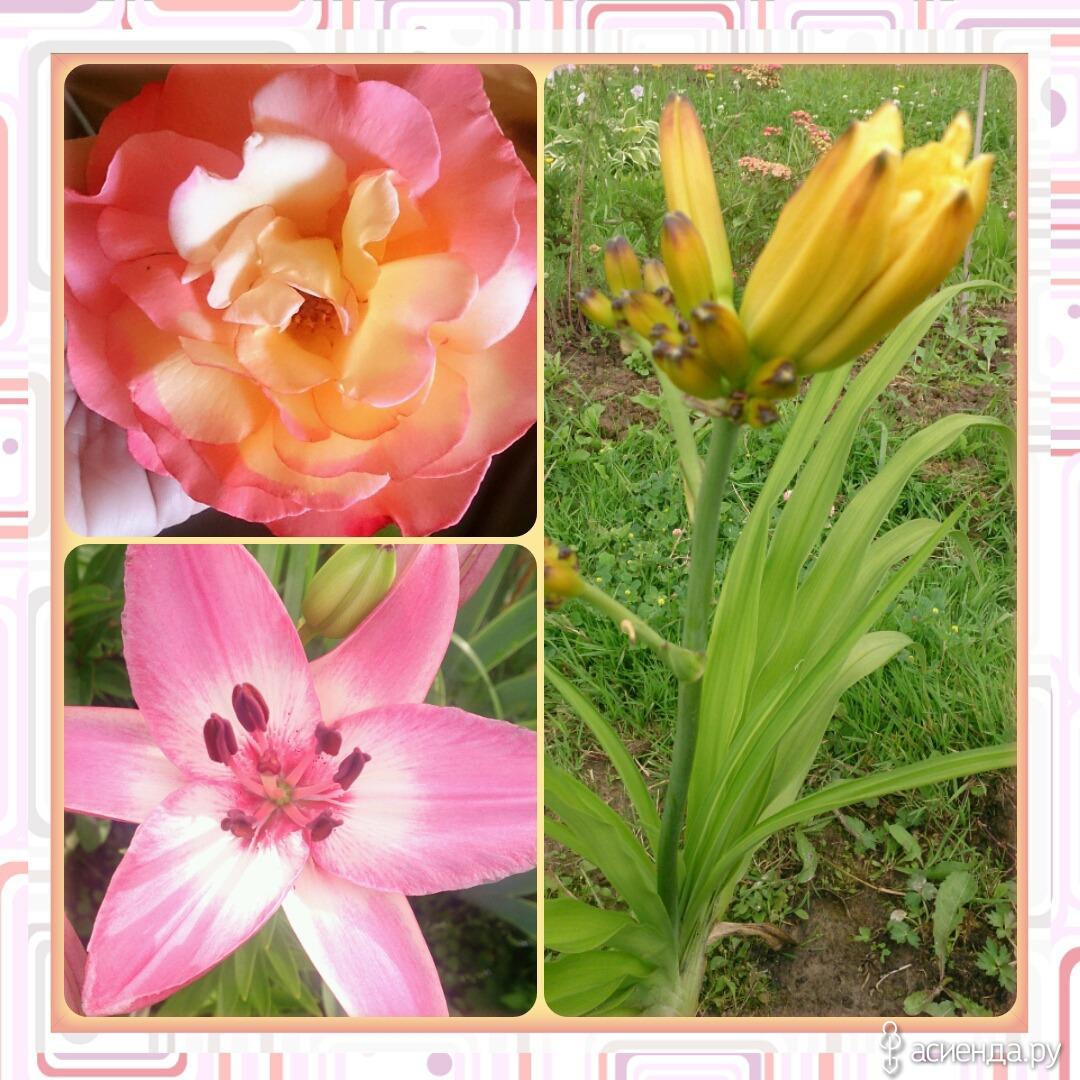 Цветы похожие на лилии