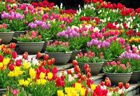 Посадка на выгонку тюльпанов, мускари, нарциссов и гиацинтов