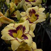 Лилейник-цветок для ленивых интелигентов