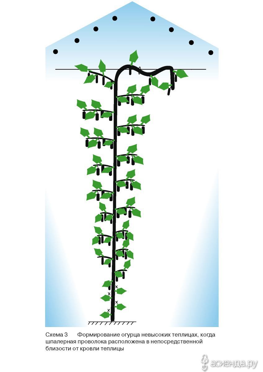 Схема посадки огурцов в теплице 3х6 фото