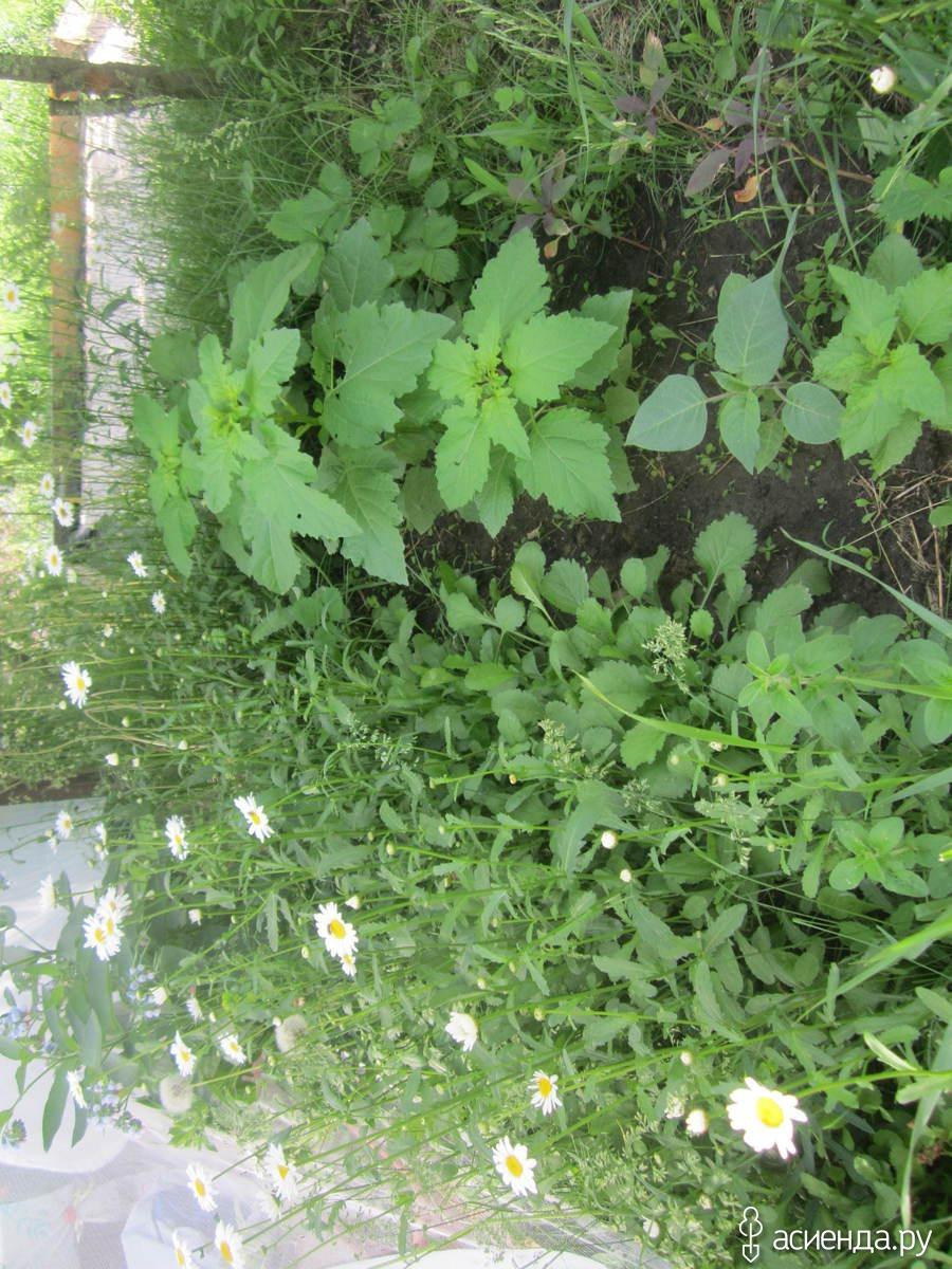 цветок никандра