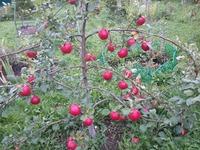 Долгожданный первый урожай яблони Веньяминовское.