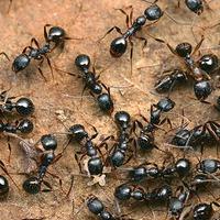 Маленькая война с муравьями. Любителям муравьев пост не читать!