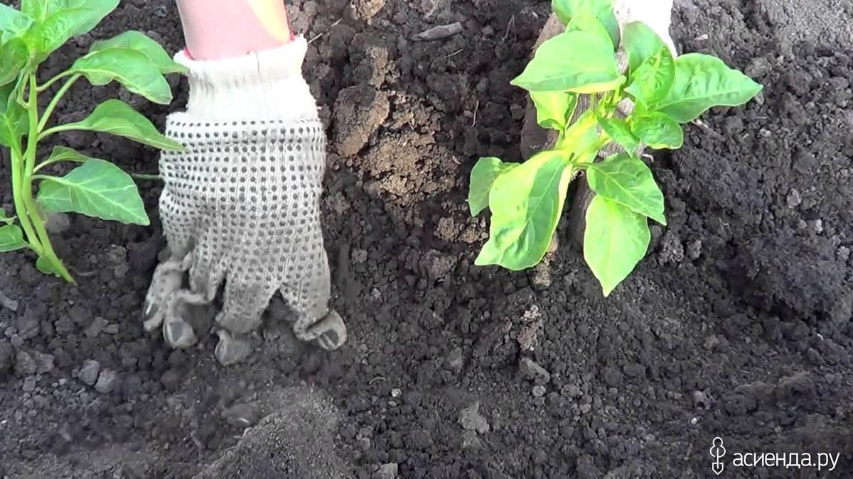 Выращивание перца в открытом грунт 303