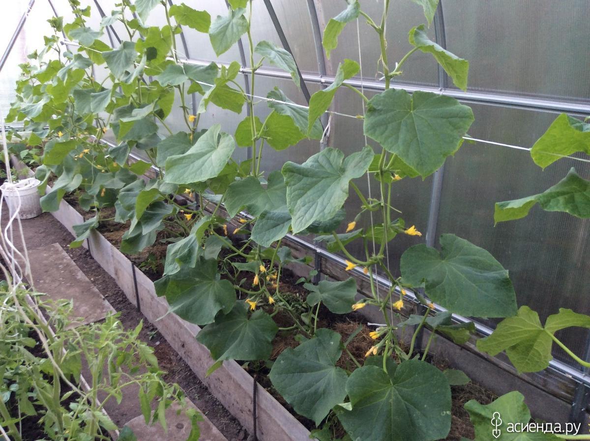 Огурцы выращивание и уход в теплице фото