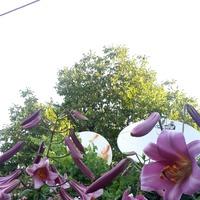 Майское буйство роз сменило цветение лилий, мальвы, гортензии