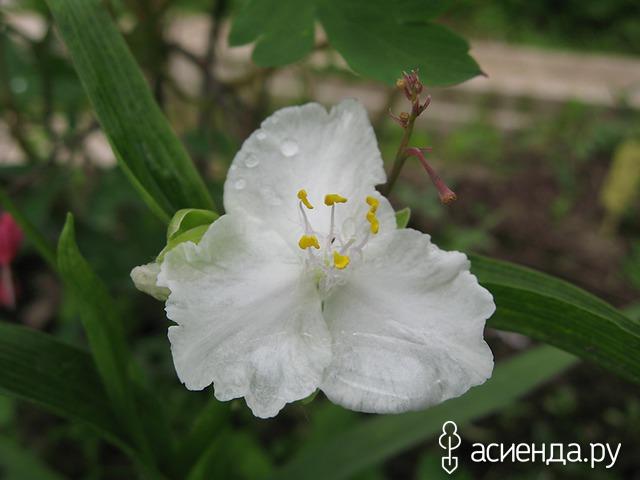 Цветок традесканция фото садовая