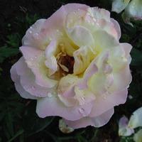 Мои новички. Розы, космея и другое
