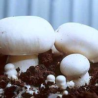 Выращиваем шампиньоны на даче