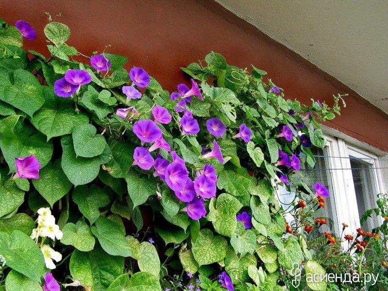 Цветы которые вьются по забору