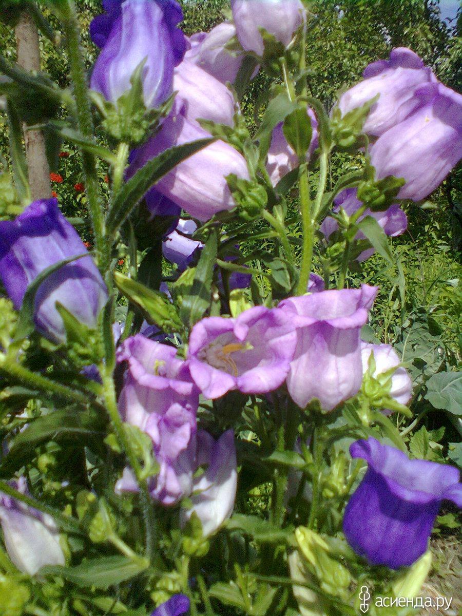 Цветы типа колокольчиков фото