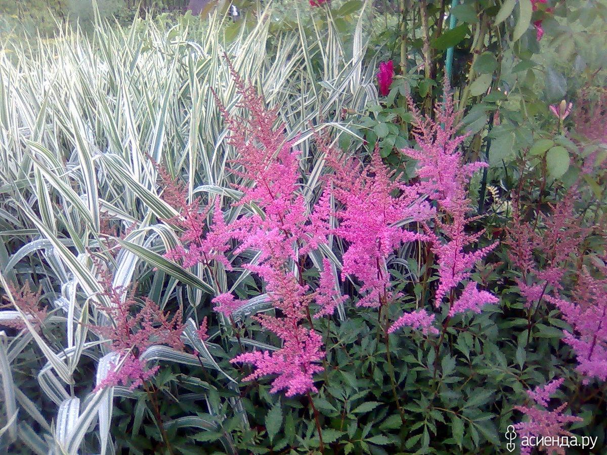 Цветы с метелками фото