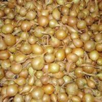 Хранение лука - севка до посева в грунт.
