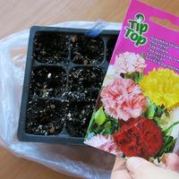 Выращивание гвоздики Шабо. Начало:)