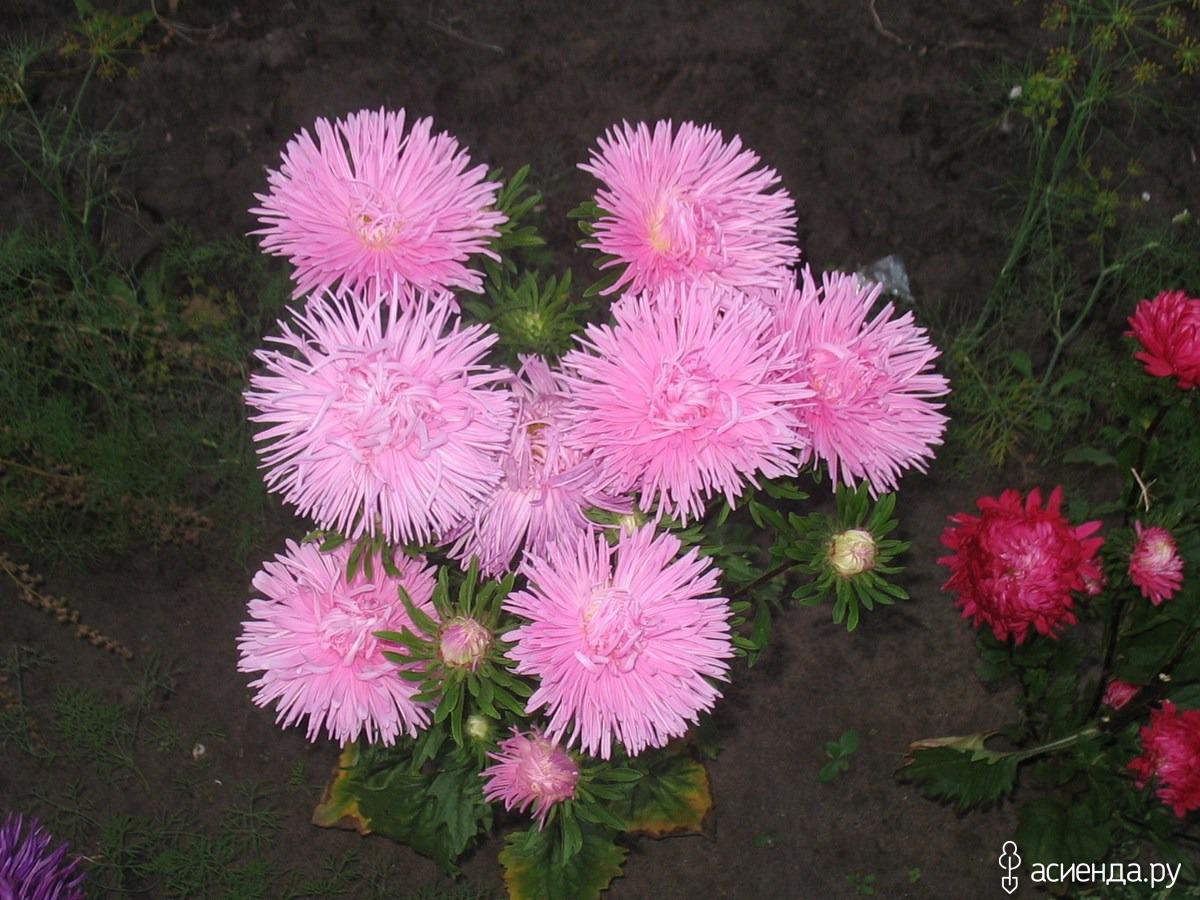 Садовые цветы астры с