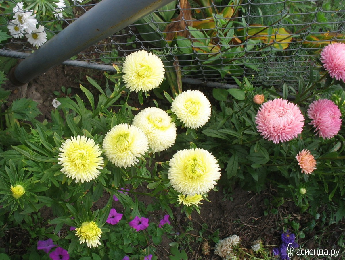 Цветы размножающиеся самосевом фото