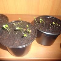 Дубль два... и не везет с томатами... и мои астрачки всходят :) и попутно вопросик: когда и как пикировать астры?