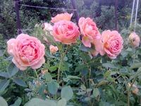 Эх, розы, розы...