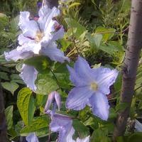 Клематисы - вертикали в саду