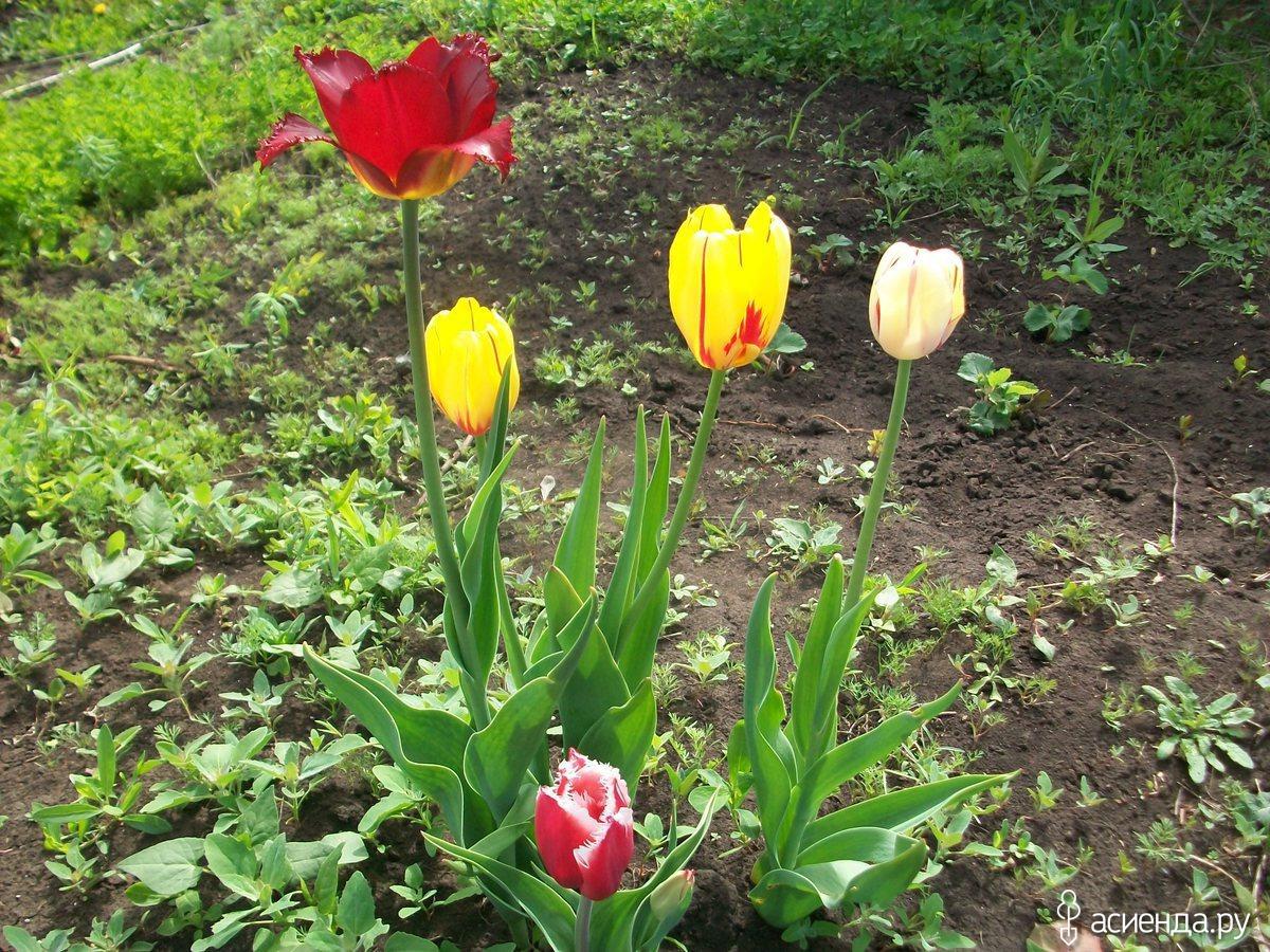 Фото ранних луковичных цветов