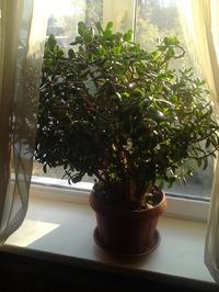 Денежное дерево или толстянка. Часть 2 Лечебные свойства листьев