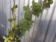 Задача для опытных садоводов... про ежевику