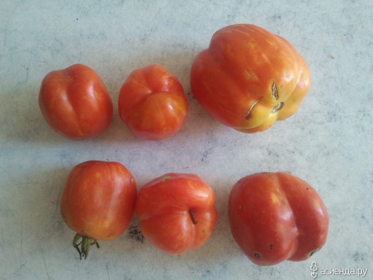 Как правильно собрать семена из помидор 98