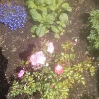 Сторублевые розы