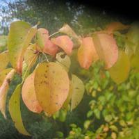 Они хоть и плодово-ягодные, но осень украшают.